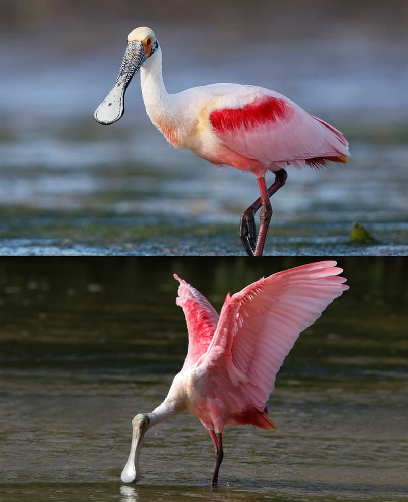 Nature Story: Roseate spoonbill birds with weird beaks