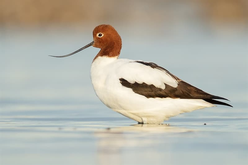 Nature Story: Red-necked avocet birds with weird narrow beaks