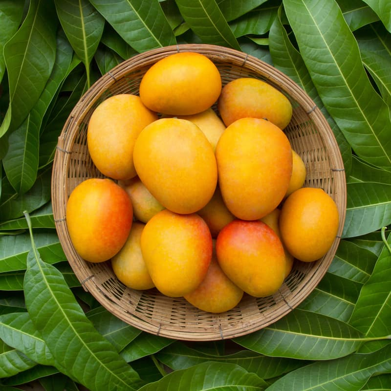 Geography Story: Mango production in India