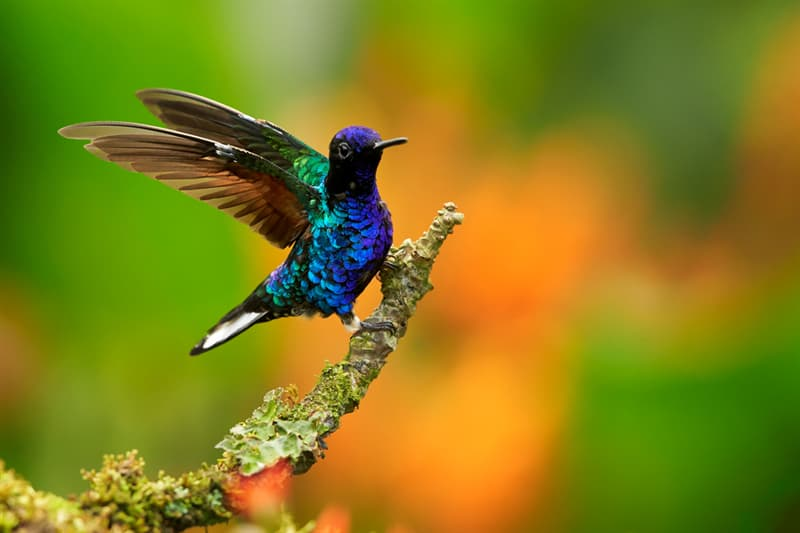 Nature Story: Velvet-purple coronet