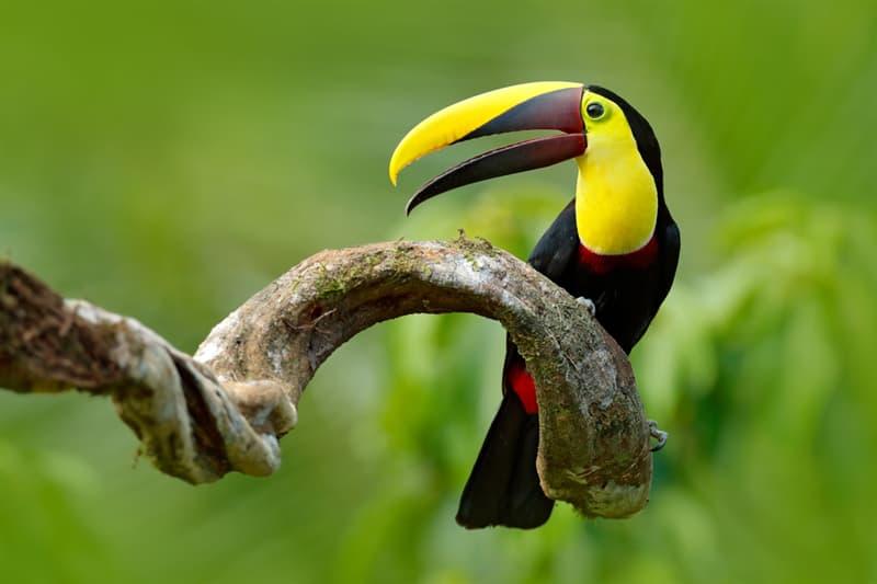 Nature Story: Chestnut-mandible toucan