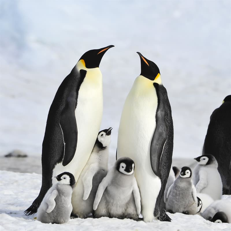 Nature Story: Best animal dad emperor penguin father