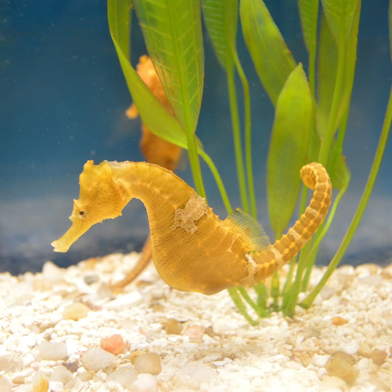 Nature Story: Best animal dads seahorse father pregnant