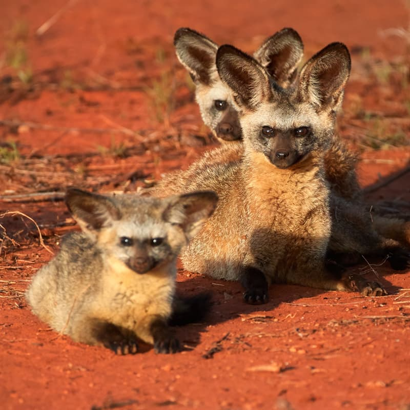Nature Story: Best animal dads bat eared fox father