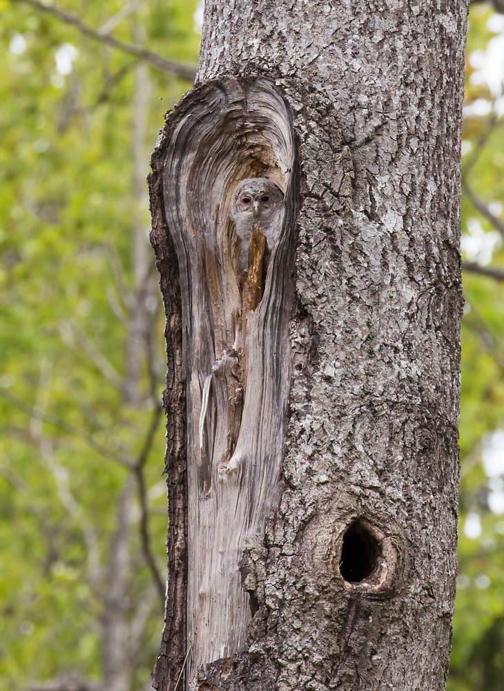 Nature Story: Tawny owl camouflaged