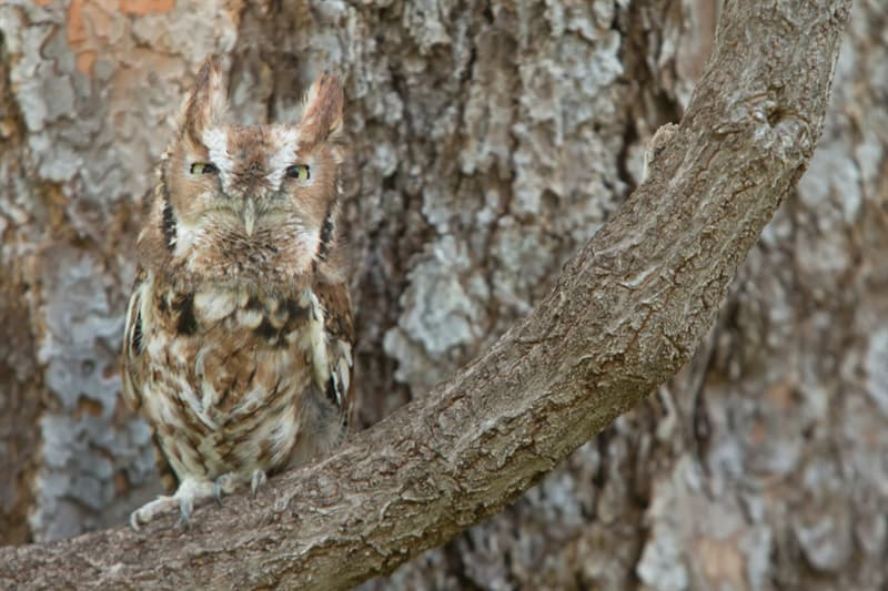 Nature Story: Screech owl camouflage