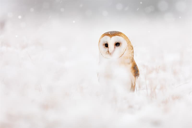 Nature Story: Barn owl picture