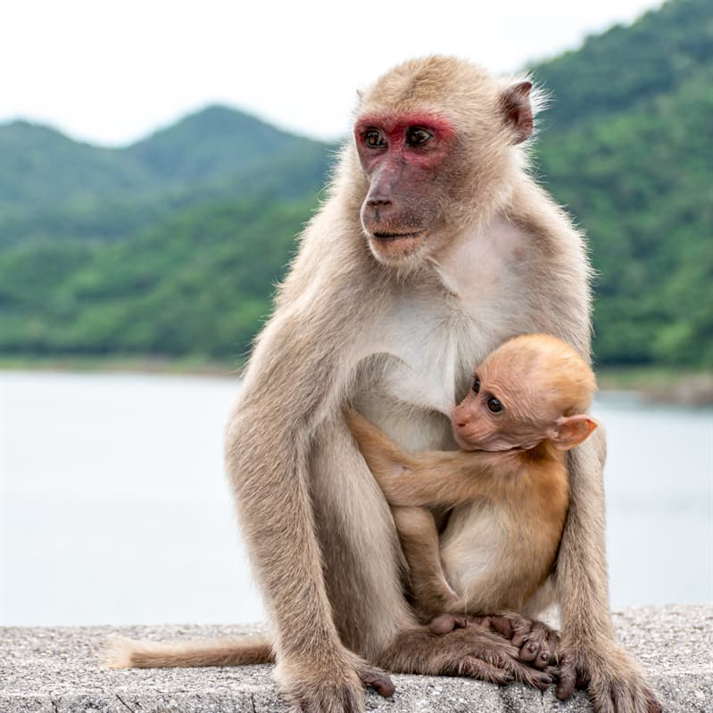 Nature Story: Baby rhesus macaque