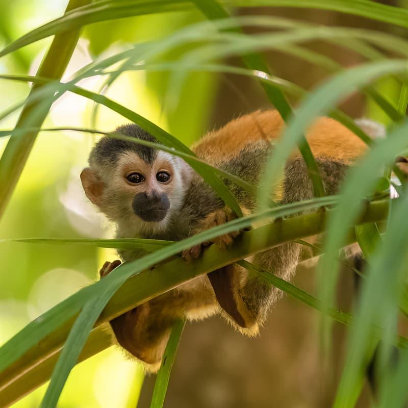 Nature Story: Baby capuchin