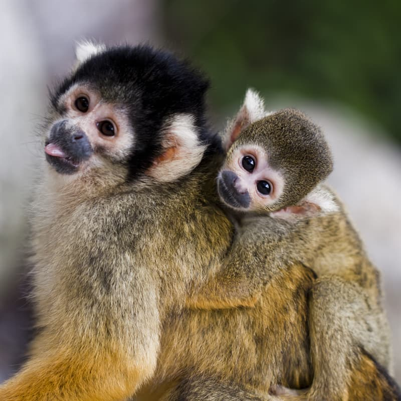 Nature Story: Baby squirrel monkey