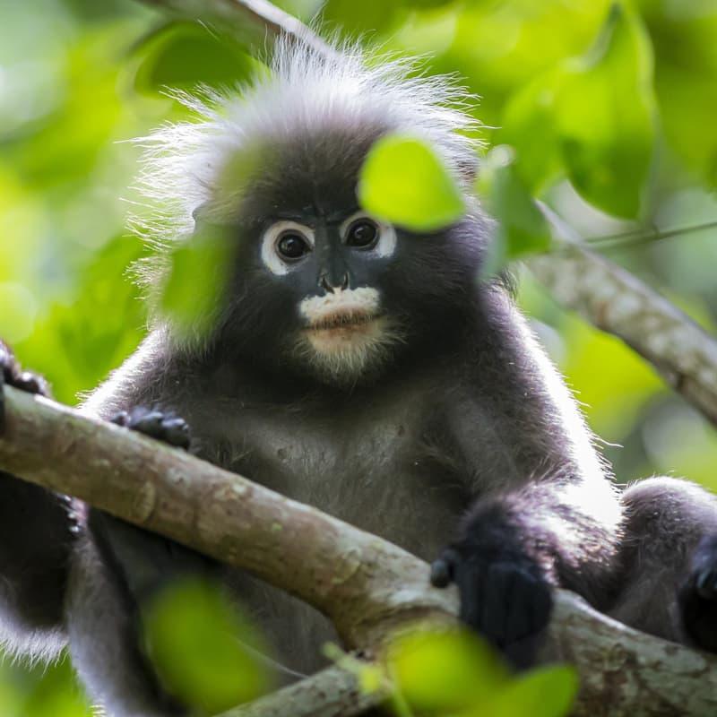 Nature Story: Baby dusty leaf monkey