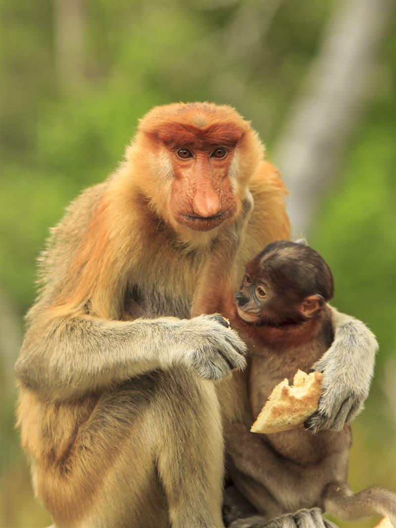 Nature Story: Baby proboscis monkey