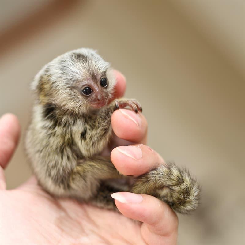 Nature Story: Pygmy marmoset baby
