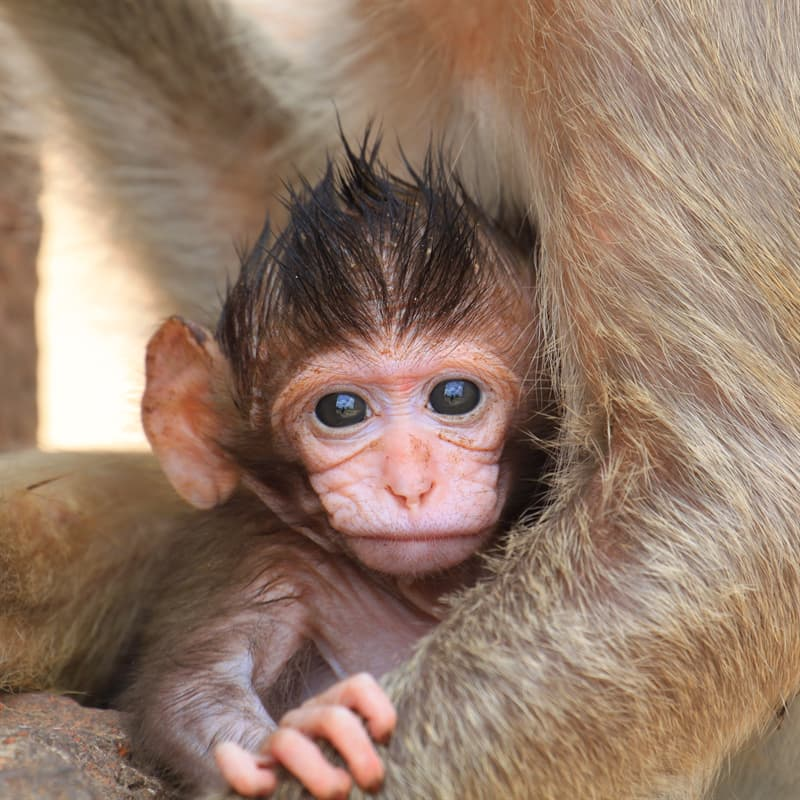 Nature Story: Macaque baby