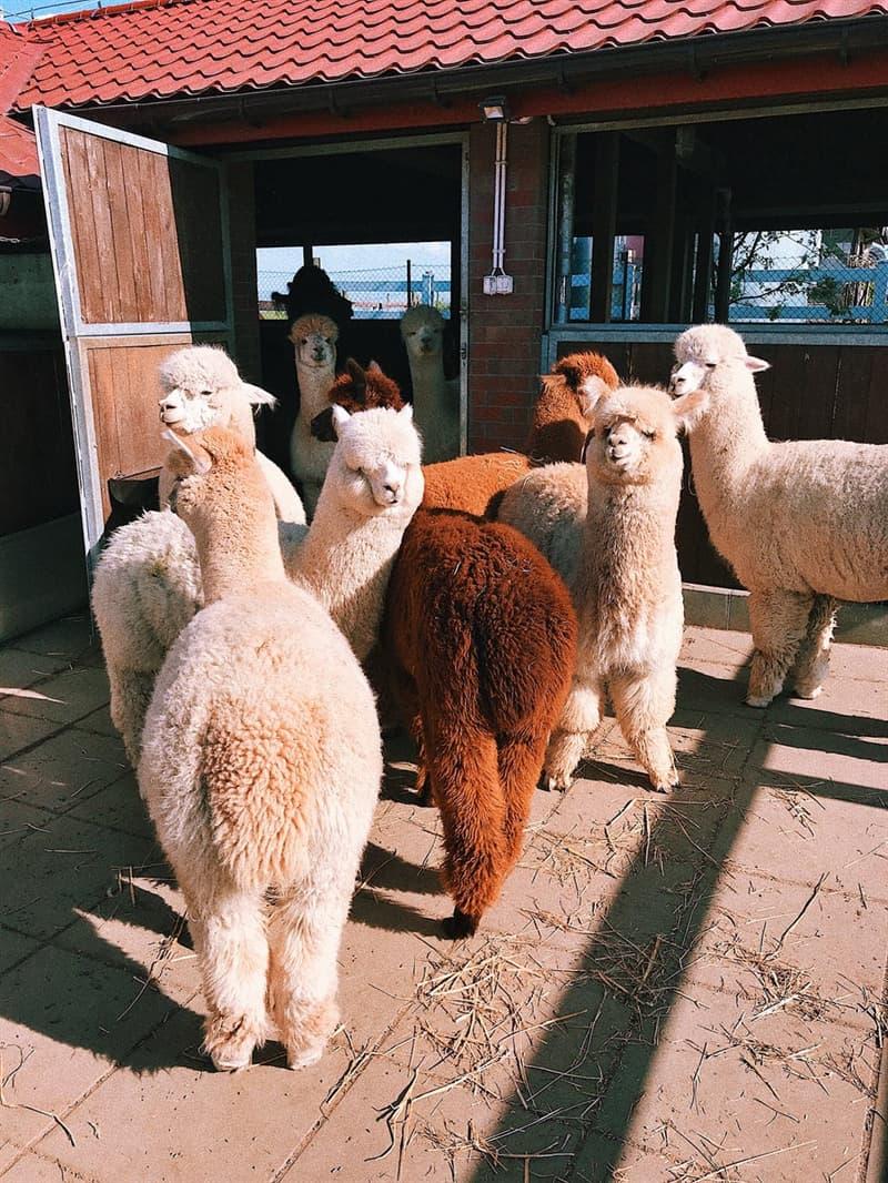 Nature Story: Alpaca wool colors