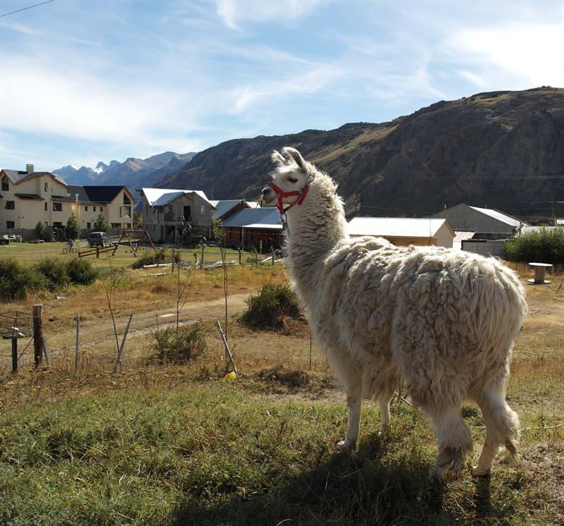 Nature Story: Llama facts