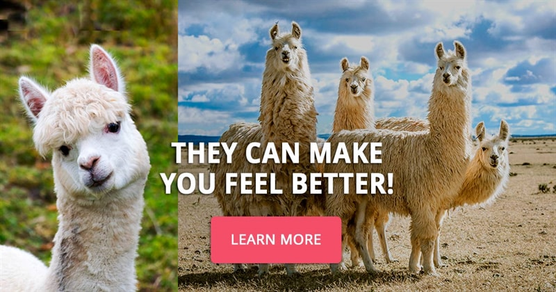 Nature Story: 10 pictures of llamas and alpacas that will make you feel happier
