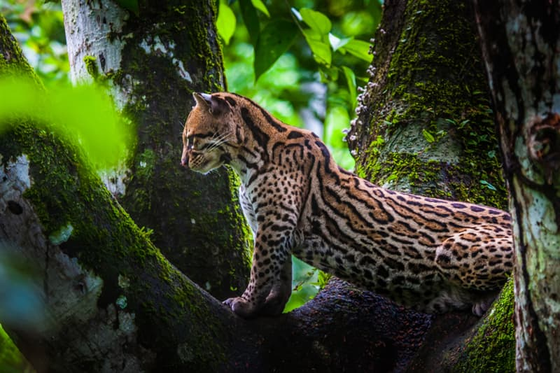 animals Story: Margay cat facts