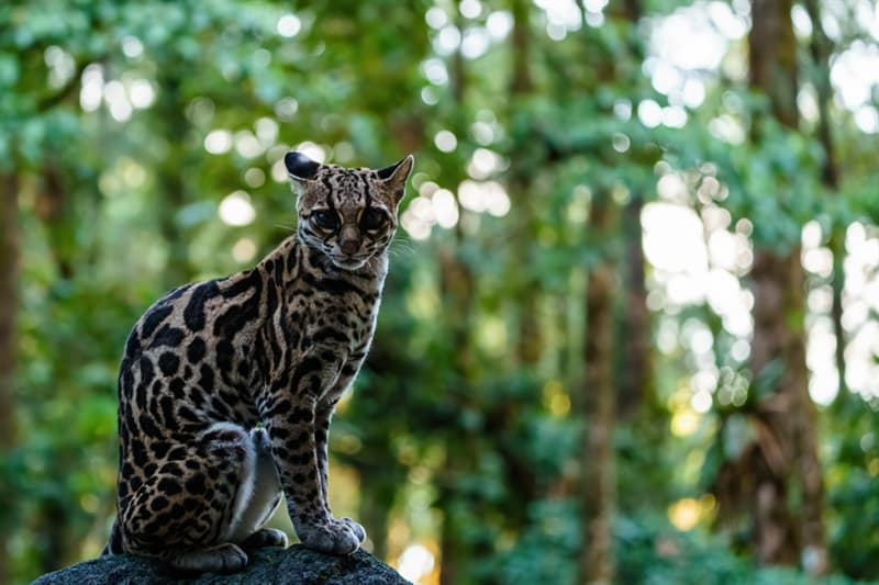 animals Story: Margay cat photo