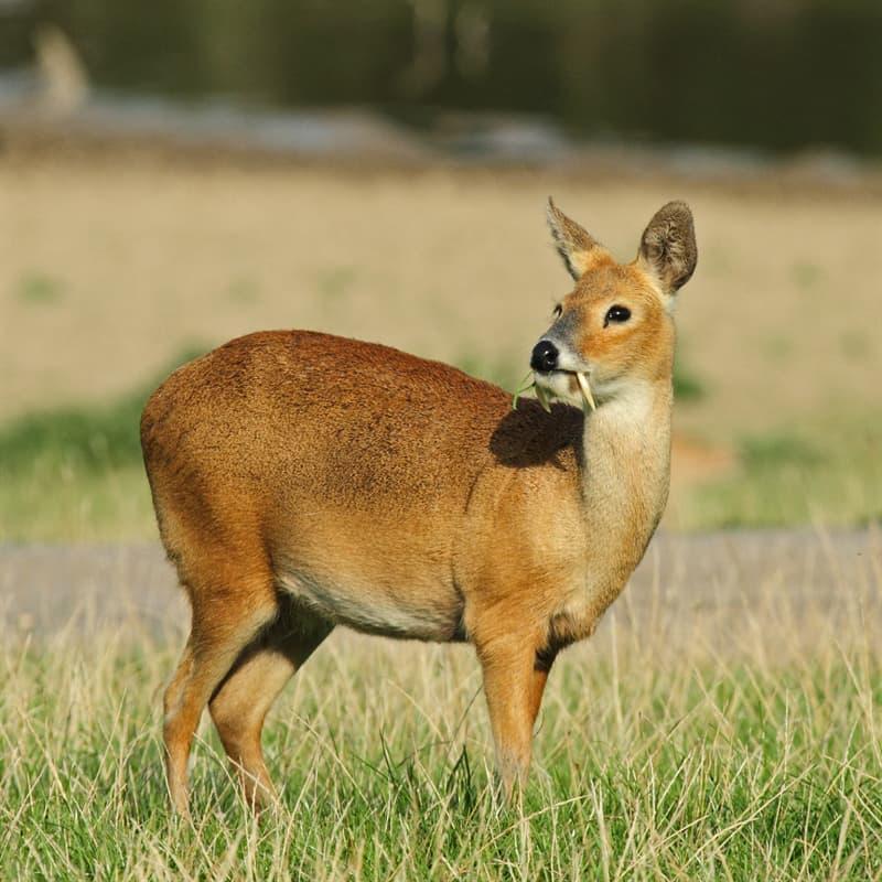 Nature Story: Chinese water deer