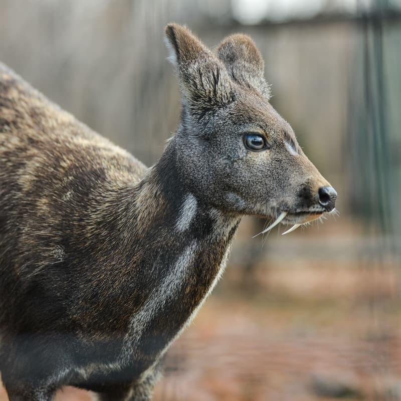 Nature Story: Musk deer