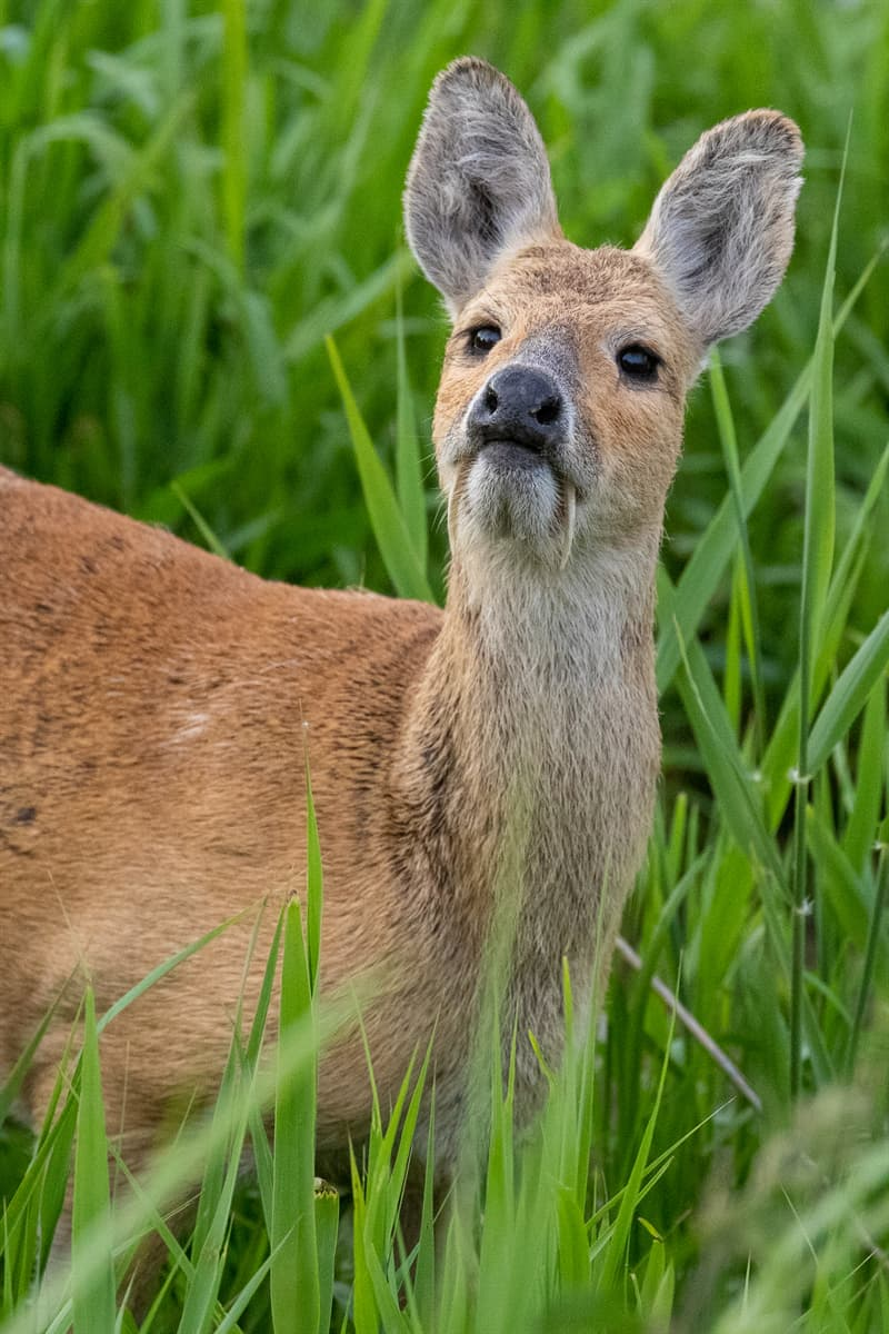 Nature Story: Deer with fangs facts