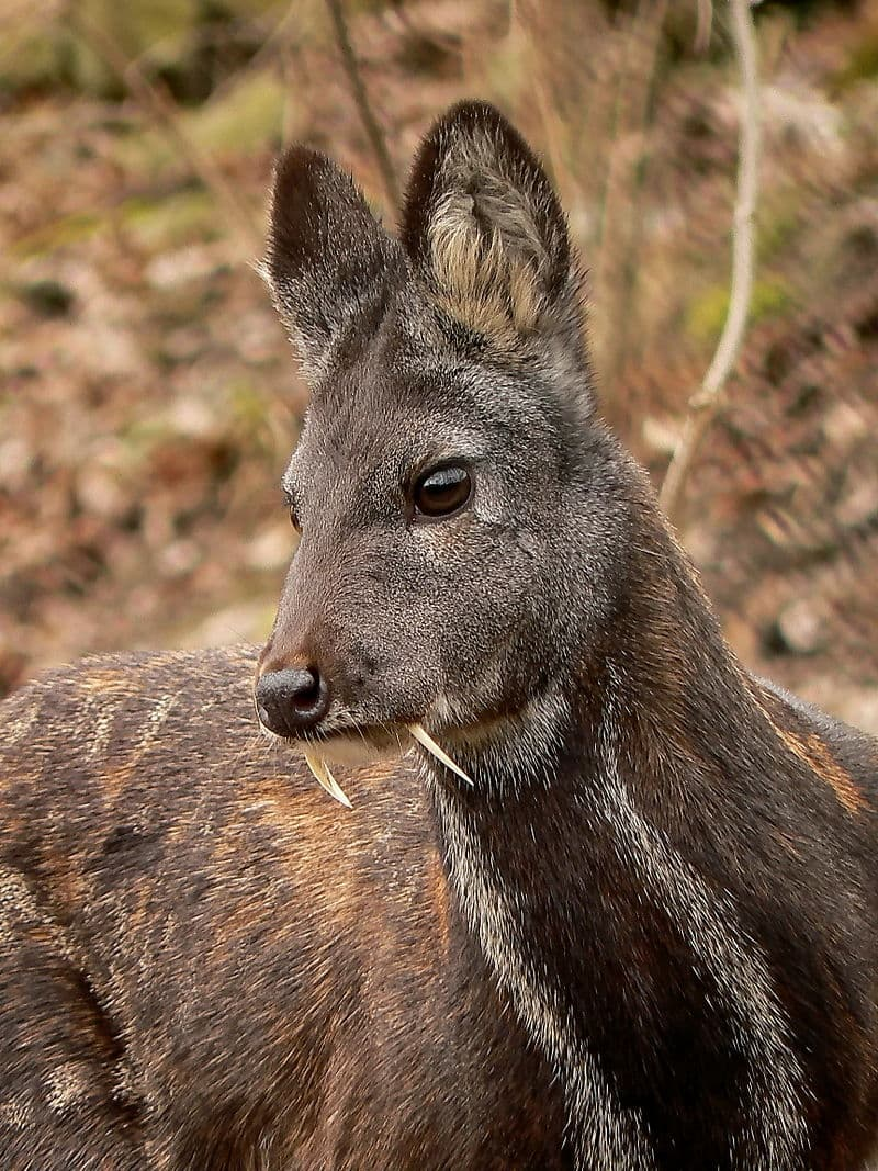 Nature Story: Deer with tusks facts