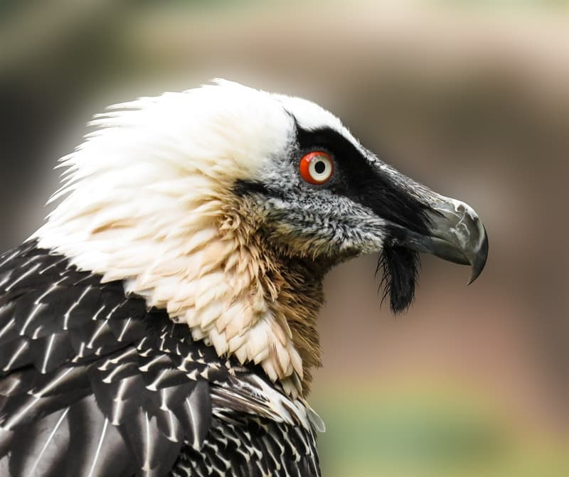Nature Story: #3 Bearded vultures dye their feathers on purpose and feed on bones