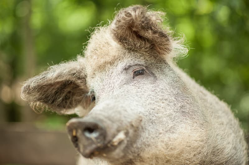 Nature Story: Breed of domestic pig