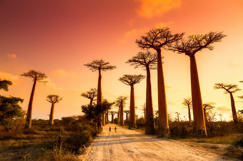 Geography Story: Beautiful baobab trees – interesting facts and pictures