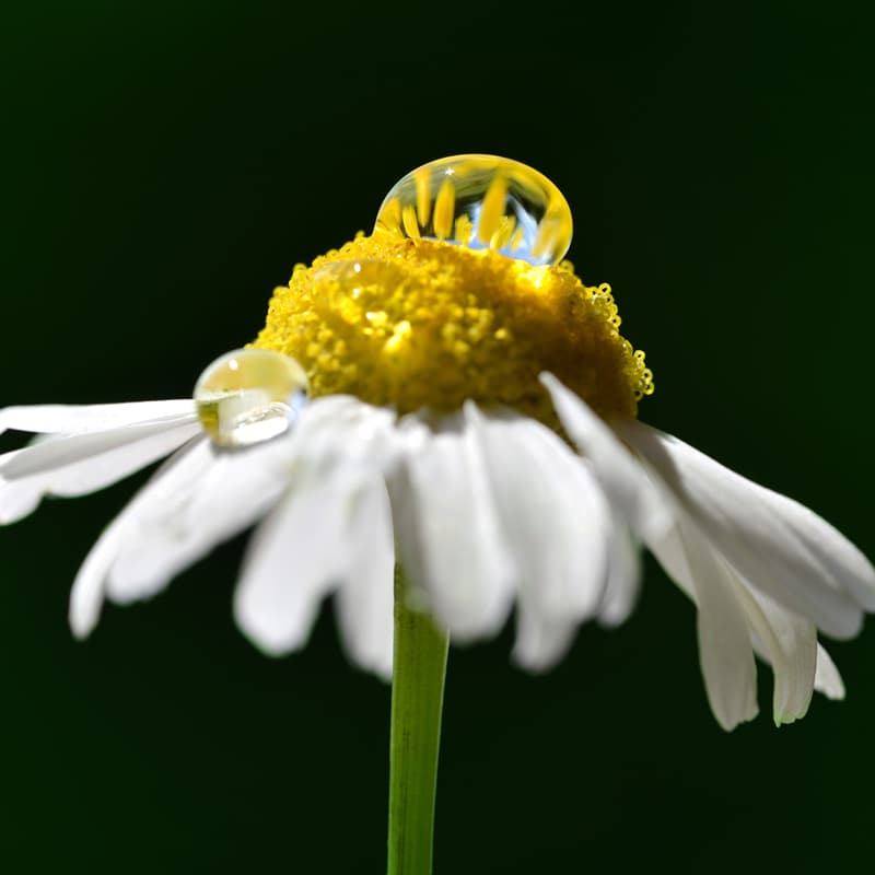 Nature Story: Macro photography water droplets on a chamomile