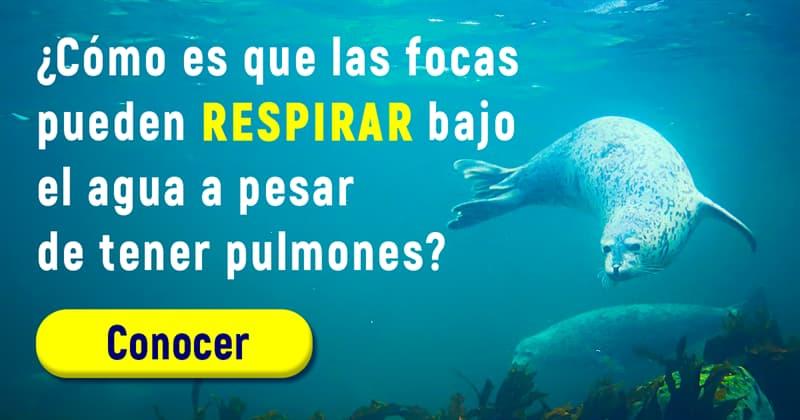 Naturaleza Historia: ¿Cómo es que las focas pueden respirar bajo el agua a pesar de tener pulmones?