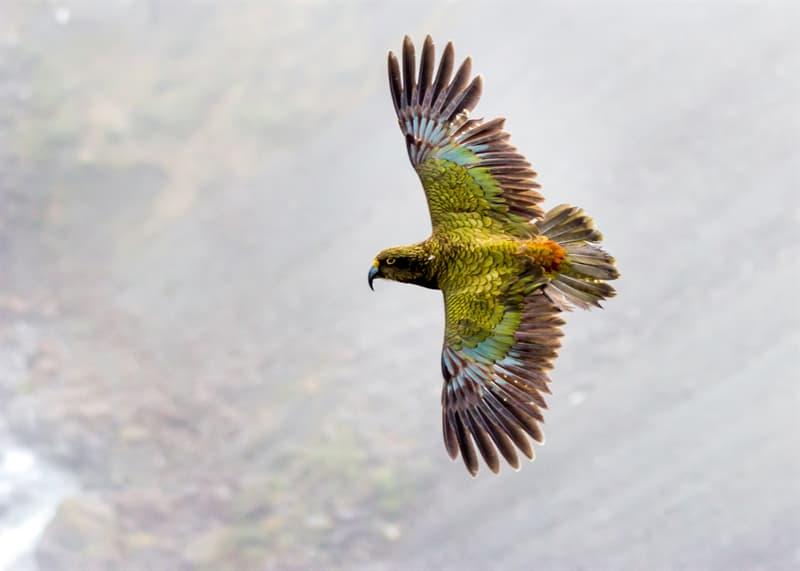 Nature Story: Alpine parrots