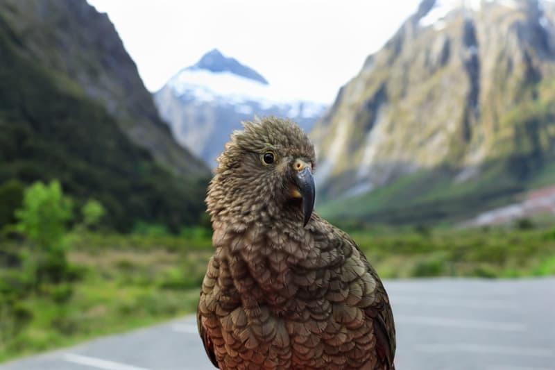 Nature Story: Mountain parrot kea