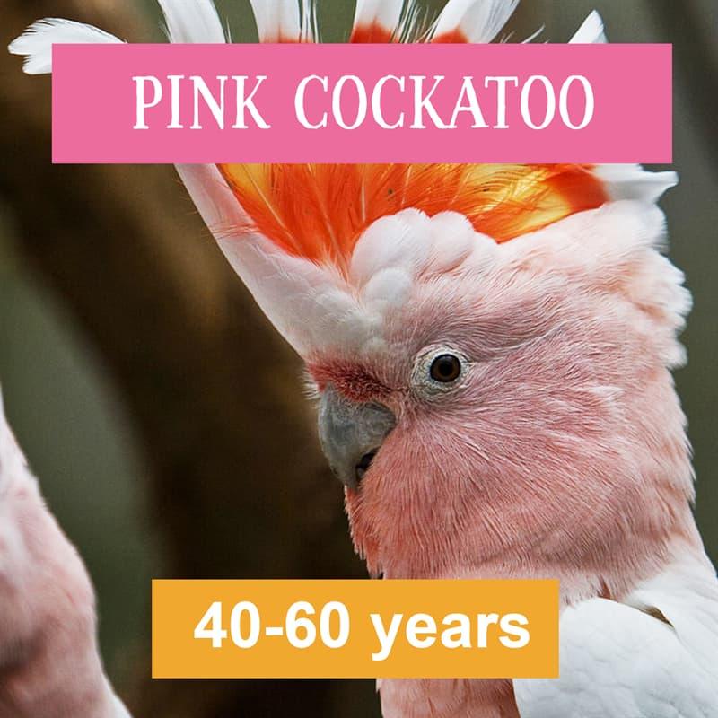 Nature Story: pink cockatoo lifespan
