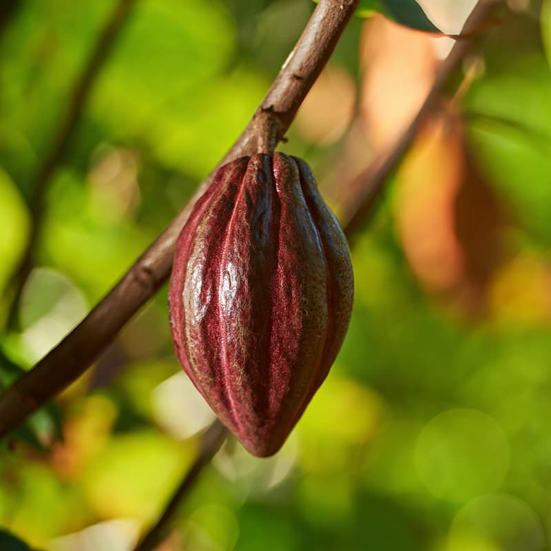 Culture Story: Chocolate facts how is chocolate grown