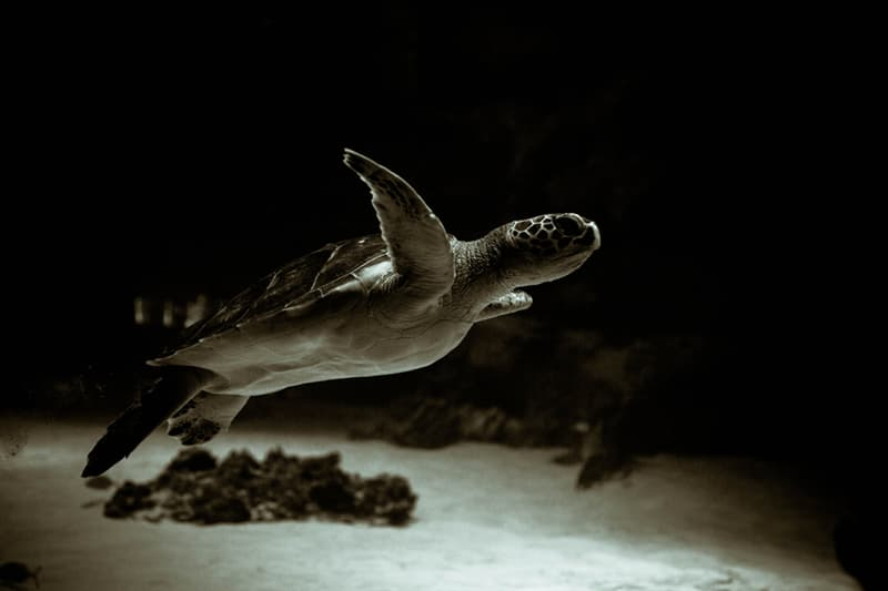 Society Story: Loggerhead turtles - turtles around the world