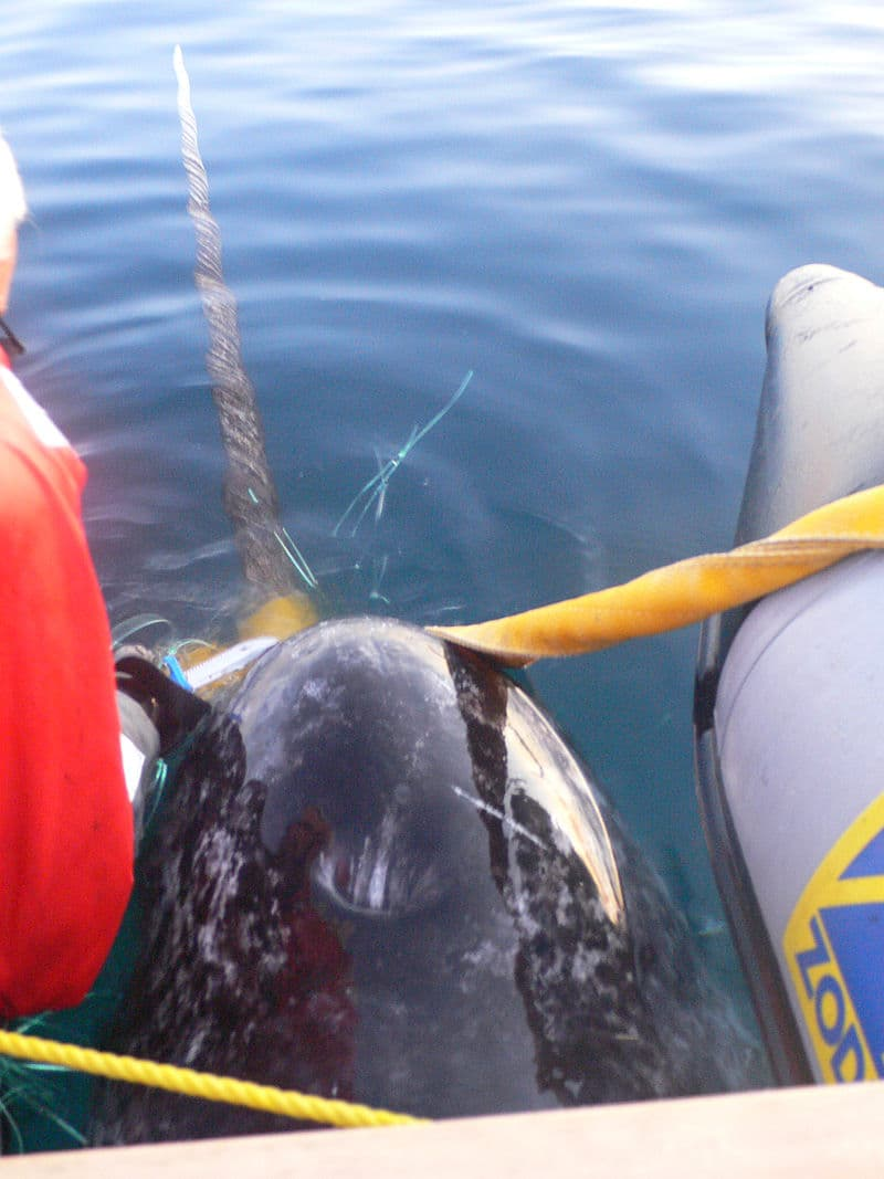 Nature Story: Are narwhals endangered?