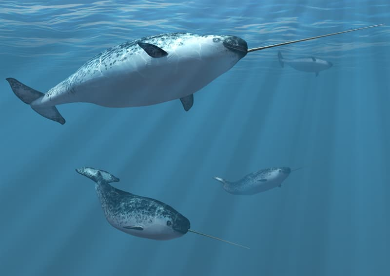 Nature Story: Narwhals live long lives