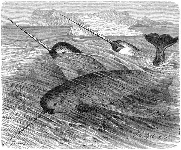 Nature Story: What are their weird tusks, and what do narwhals need them for?