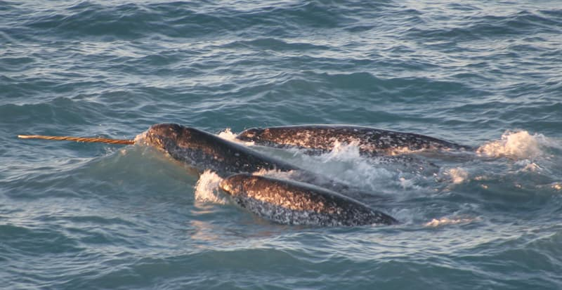 Nature Story: What do narwhals eat?
