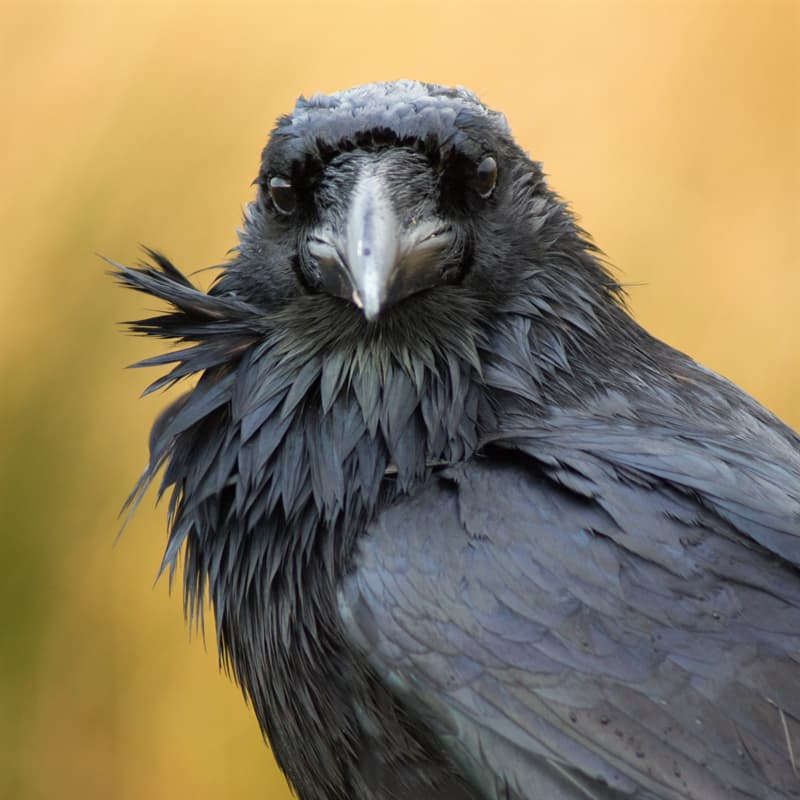Nature Story: facts about ravens raven facts