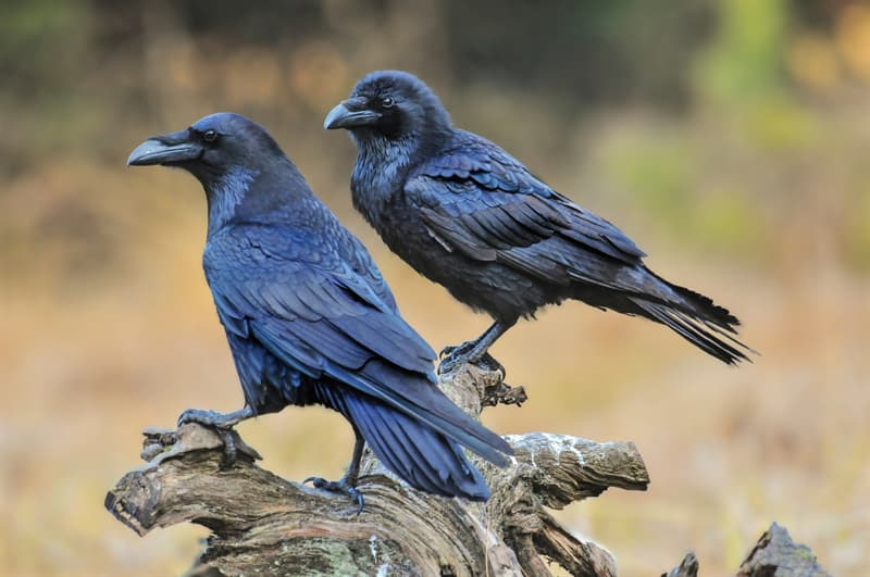 Nature Story: facts about ravens raven facts raven lifespan raven life cycle