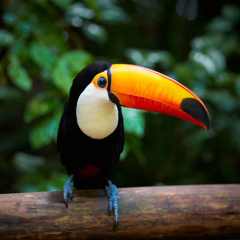 Nature Story: facts about toucans toucan facts toucan species toucan interesting facts biggest toucan