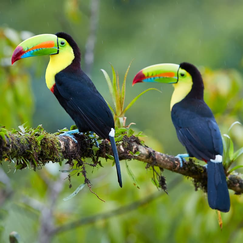 Nature Story: facts about toucans toucan facts toucan species habitat of toucans in the rainforest where do toucans live toucan interesting facts