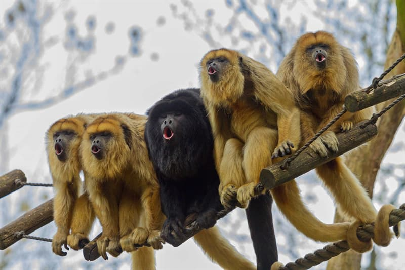 Personality Story: loud animals loudest animals on earth noisy neighbor problem neighbors neighborhood Howler Monkey