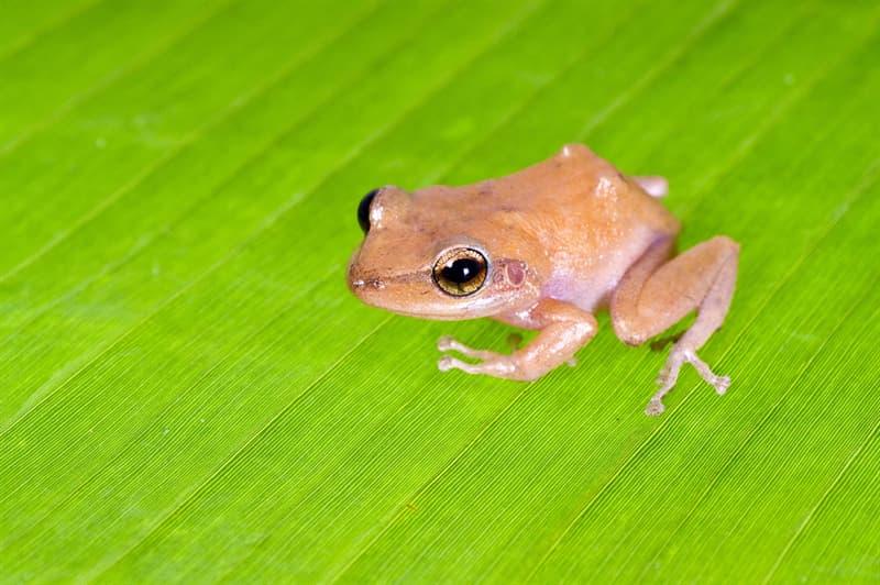Personality Story: Common Coqui Frog loud animals loudest animals on earth noisy neighbor problem neighbors neighborhood Howler Monkey