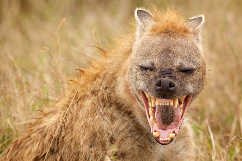 Personality Story: Spotted Hyena Laughing hyena loud animals loudest animals on earth noisy neighbor problem neighbors neighborhood Howler Monkey