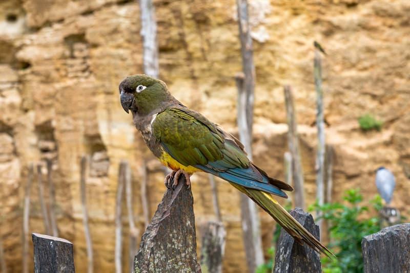 Personality Story: Kakapo cacapo loud animals loudest animals on earth noisy neighbor problem neighbors neighborhood Howler Monkey