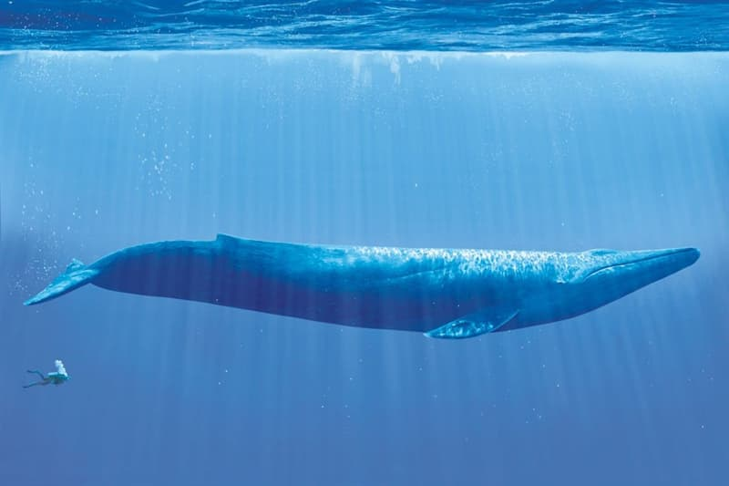 Culture Story: cool comparison pictures side by side comparison photos interesting comparison topics a blue whale compared to a human whale sizes and weights
